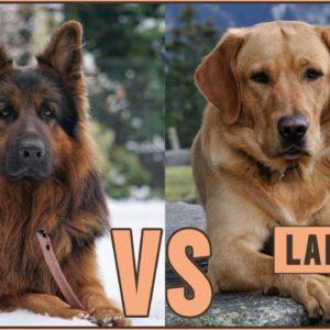 German Shepherd vs Labrador Retriever | Dog World