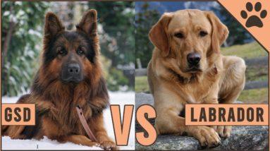 German Shepherd vs Labrador Retriever   Dog World