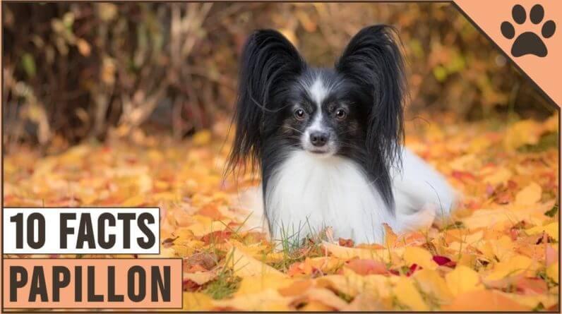 Papillon Dog Breed - Top 10 Facts | Dog World