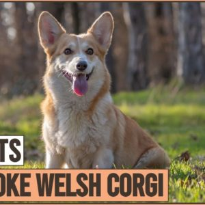 Pembroke Welsh Corgi - Top 10 Facts | Dog World