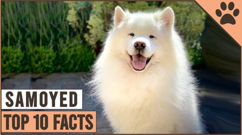 Samoyed Dog Breed - Top 10 Facts | Dog World