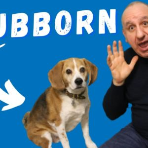 Stubborn Beagles | Why Are Beagles So Hard To Train To Listen?