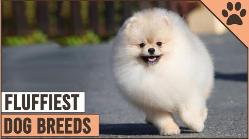 Top 10 Fluffiest Dog Breeds | Dog World