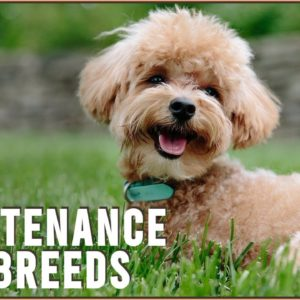 Top 10 Low Maintenance Dogs For Busy Owners