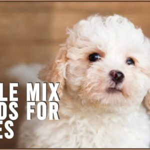 Top 10 Poodle Mix Breeds for Babies | Dog World