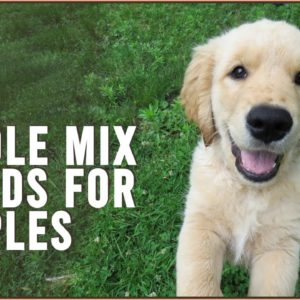 Top 10 Poodle Mix Breeds for Couples | Dog World
