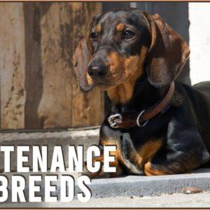 Top 7 Low Maintenance Small Dog Breeds | Dog World