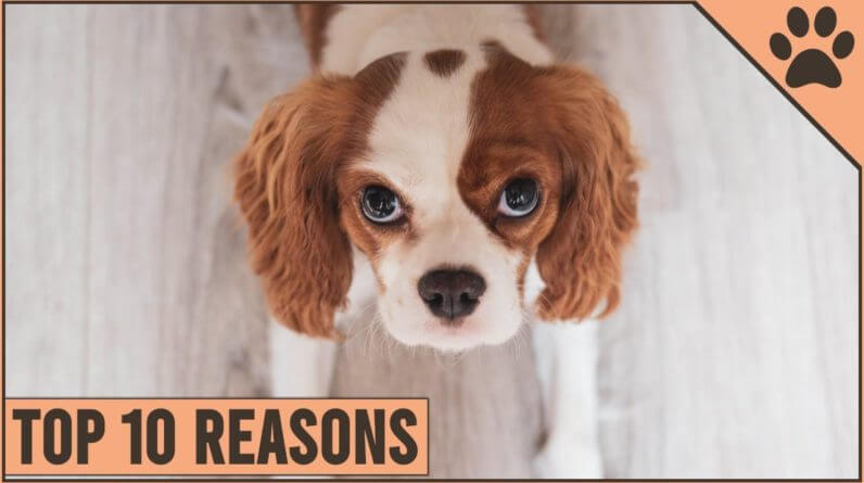 Top 10 Reasons Why You Should Get A Cavalier King Charles Spaniel | Dog World