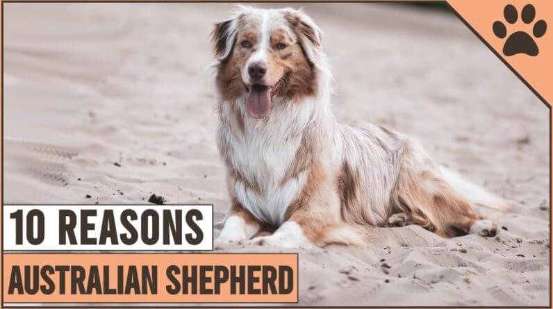 10 Reasons Why You Should Get An Australian Shepherd | Dog World