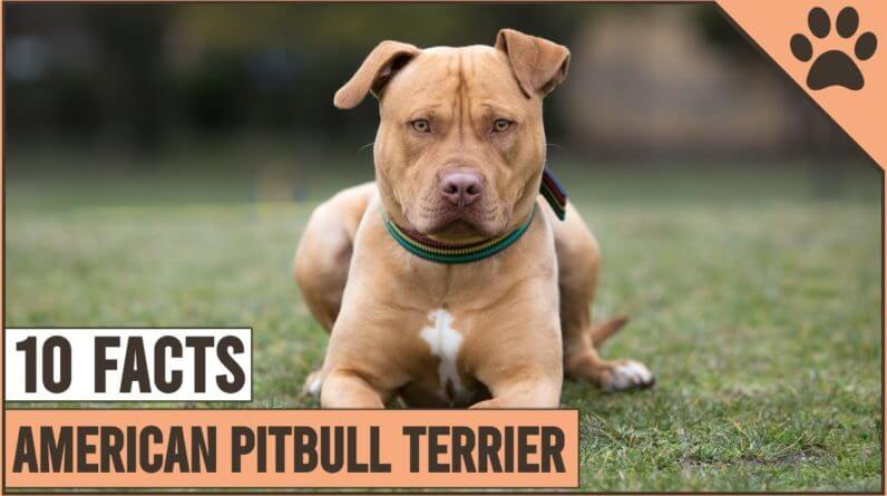 American Pitbull Terrier Top 10 Facts 1