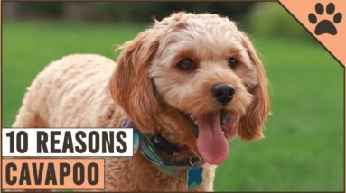 Top 10 Reasons Why You Should Get A Cavapoo | Dog World
