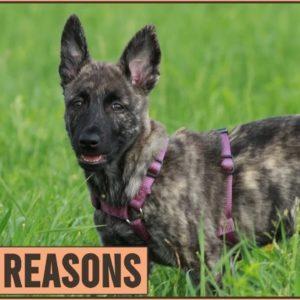 Top 10 Reasons Why You Should Get A Dutch Shepherd | Dog World