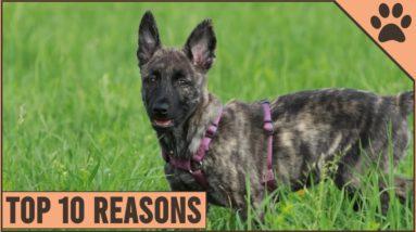 Top 10 Reasons Why You Should Get A Dutch Shepherd   Dog World
