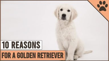 Top 10 Reasons Why You Should Get A Golden Retriever 1
