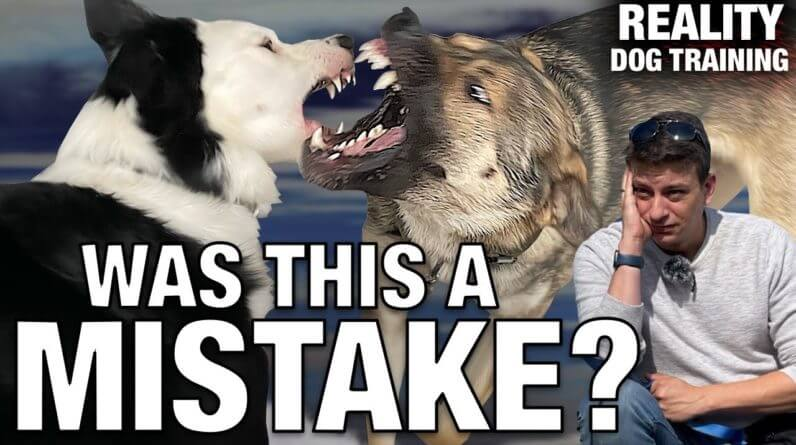 How I'm introducing a NEW dog to my dog: What I do when they get TOO ROUGH.