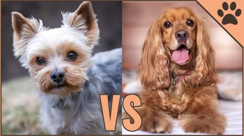 Yorkshire Terrier vs Cocker Spaniel - Dog Breed Comparison | Dog World